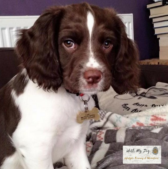 jazzy-puppy-9-weeks.jpg